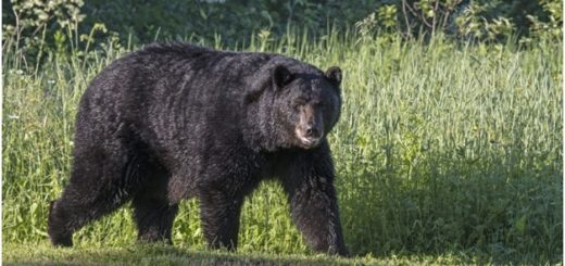 5-year Old Colorado Girl attacked by a bear in Colorado