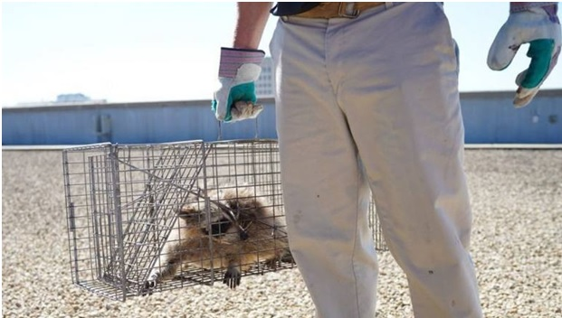 Raccoon Captured in a Live Trap after it Reached the Roof of the Tower