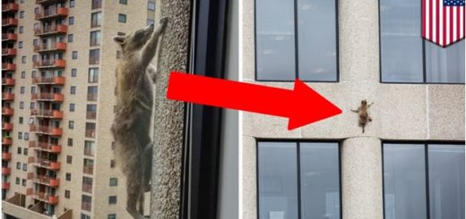 Raccoon Climbing the 25-Story Tower