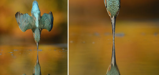 award winning kingfisher bird photo
